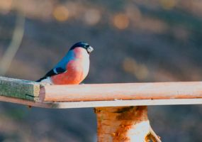 Bullfinch by Steve-FraserUK