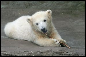 Polar bear cub by AF--Photography