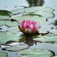 Pink Lily III STOCK by stuff-stock