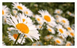 Daisies' takeover by jadvice