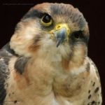 Lanner Falcon II by In-the-picture