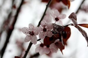 blossoms by incandescens
