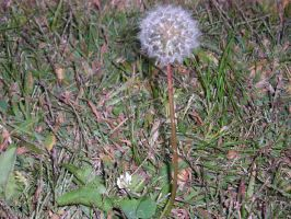 Memories Of A Single Dandelion by The--Enchantress