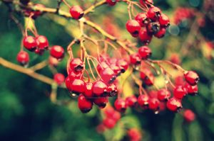 Red Berries by YesimMisey123