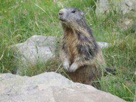 Marmot by FraterSINISTER