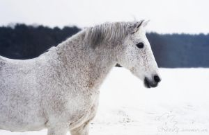 Winter andalusian horse Sueno by Nexu4