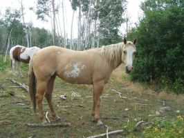 Palomino Paint 10 .:Stock:. by WesternStock