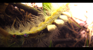 White-Marked Tussock Moth 2 by Xibris