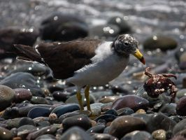 Who wants crab? by perubirder
