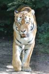 Tiger Stock 03 by Malleni-Stock