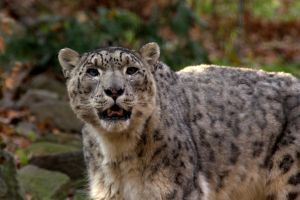 Snow Leopard Soliloquoy by amzimme
