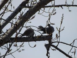 Preening Doves by asazieagle