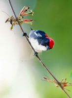Scarlet-backed Flowerpecker by tectonixr