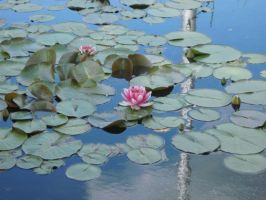 Water lilly by Hearts-at-Sea