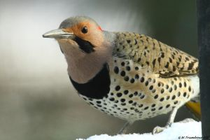 Yellow Shafted Flicker close up 2 by natureguy