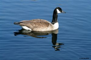 Goose II by friedapi