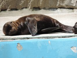 Baby Sea Lion by Shippochan1000