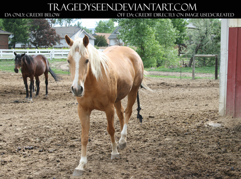 Palomino Stock 15 by tragedyseen