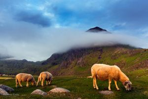 Sheep of Lofoten by m-eralp