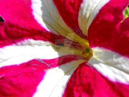 Inside a Petunia flower by floramelitensis