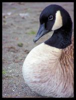 The Majestic Canadian Goose. by Bleezer