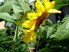 Sunflower - 02 by Zeds-Stock