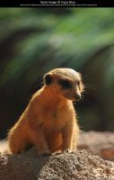 Meerkat Stock 3 by Cassy-Blue