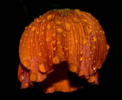 Wet Poppy by nordfold