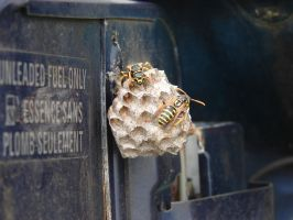 Yellow Jacket Wasps Nesting 8 by FantasyStock