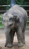 Baby Elephant stock 1 by HymnsStock