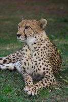 Cheetah 003 by fpanther