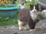 Domestic Cat Stock 9329 by sUpErWoLf--StOcK