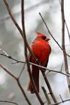 Northern Cardinal by j0s2m21