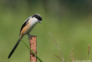 Long tailed Shrike 01 by garion