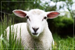 Lamb 02 by 0-Photocyte
