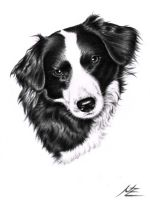 Border Collie Sheila by ArtsandDogs