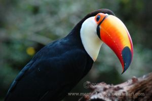Toco Toucan 2 by mentaldragon