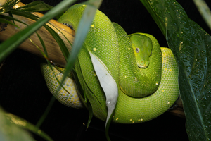 Green Tree Python by ambushreptiles
