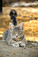 Gray Cat and Barbed Wire by tracy-Me