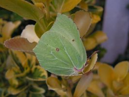 Brimstone Butterfly by AndyRidae
