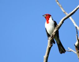 Red-cowled Cardinal by BrunoDidi