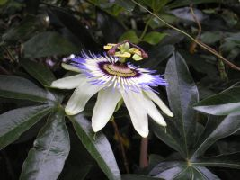 Passiflora Reloaded by Sizan07