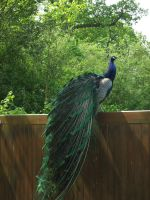 peacock I by Anellstock