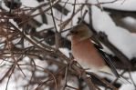 A chaffinch at last by marble911