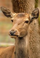 Deer portrait by MaraDamian