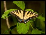 Yellow Butterfly by FT69