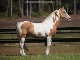 gold champagne stallion 5 by venomxbaby