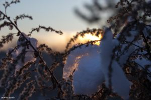 plant with fresh snow in the sunset by blacky-mo