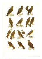 Antique birds print 14 by OMEGA86