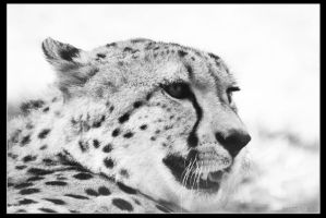Cheeta by Globaludodesign